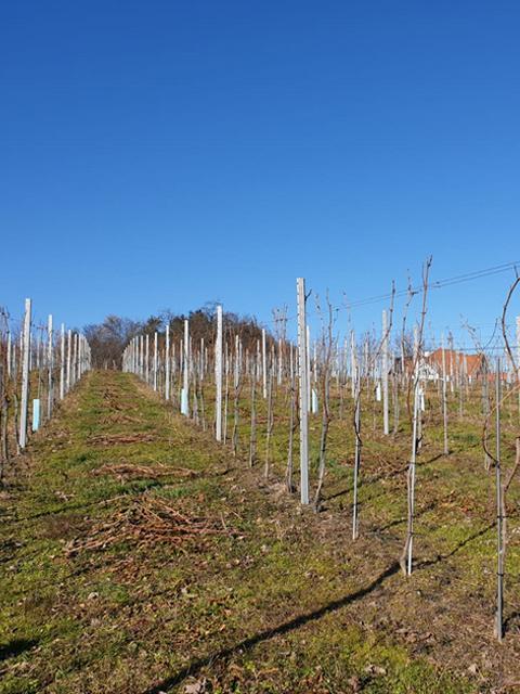 Weingartenschnitt